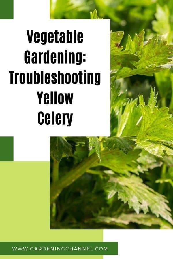 celery in garden with text overlay vegetable gardening troubleshooting yellow celery