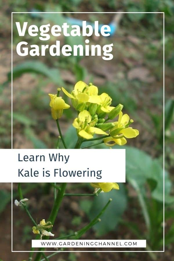 kale flower with text overlay vegetable gardening learn why kale is flowering