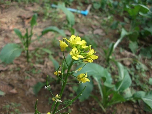 kale flowering