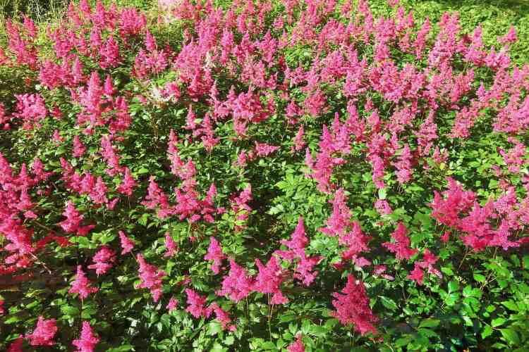 pink Astilbe Flowers