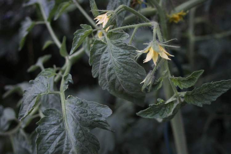 tomato plant with blossoms