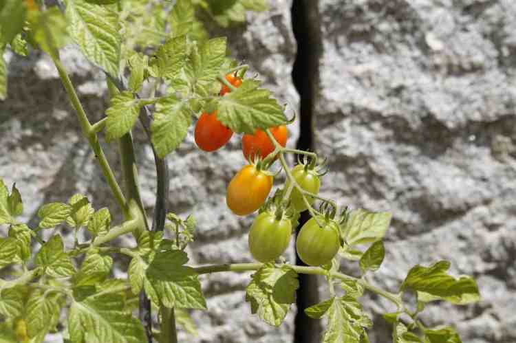 tomato plants with ripening tomatoes