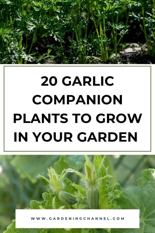 carrot and cucumbers with text overlay 20 Garlic Companion Plants to Grow in Your Garden Together