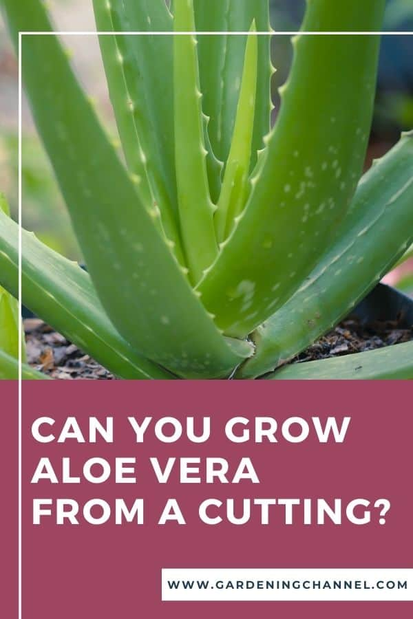 aloe vera plant with text overlay Can you grow aloe vera from a cutting?