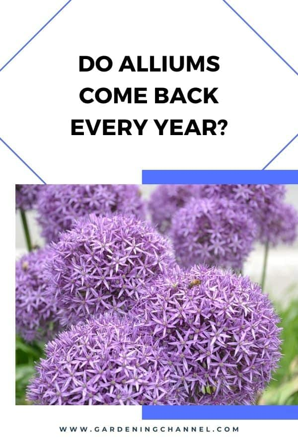 allium flowers with text overlay Do Alliums Come Back Every Year?