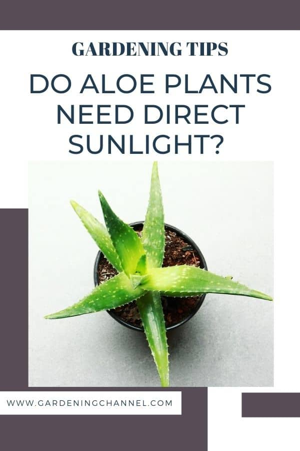 aloe in sunlight with text overlay gardening tips Do aloe plants need direct sunlight?