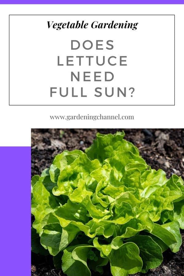 lettuce in the garden with text overlay vegetable gardening Does Lettuce Need Full Sun?