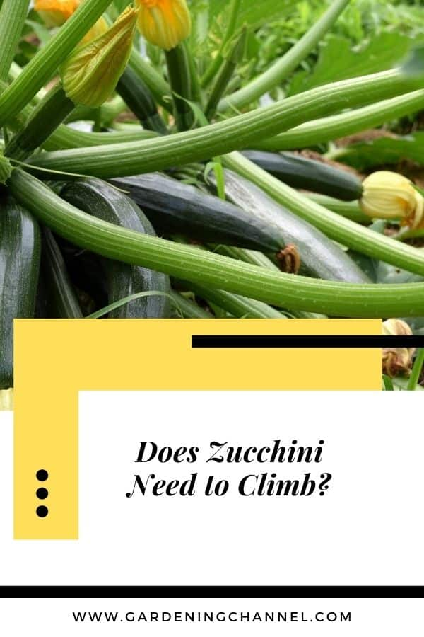 zucchini plant with text overlay Does zucchini need to climb?