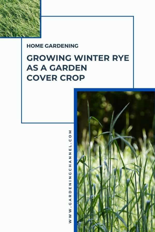 cereal rye with text overlay home gardening Growing Winter Rye as a Garden Cover Crop