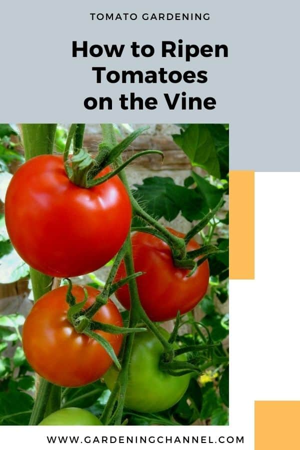 tomatoes on vine with text overlay tomato gardening How to Ripen Tomatoes on the Vine