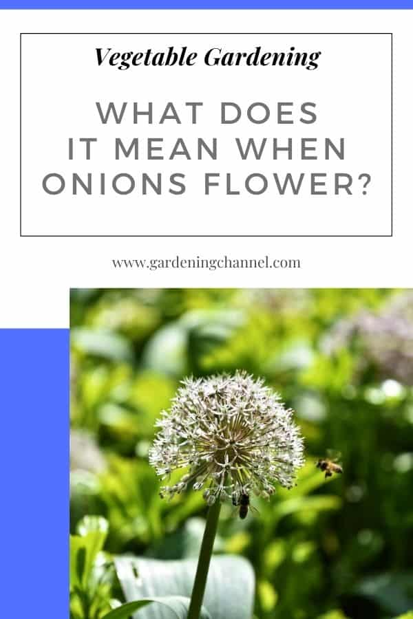 onion blooming with text overlay vegetable gardening What Does It Mean When Onions Flower?