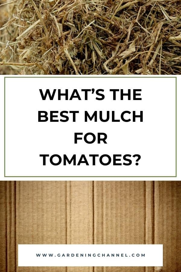straw and cardboard with text overlay what's the best mulch for tomatoes?