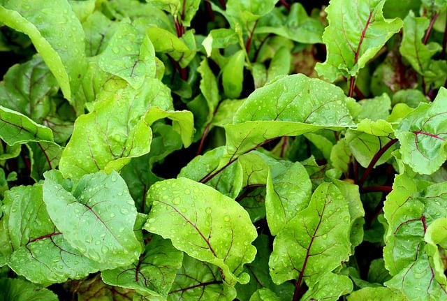 beets for companion plants