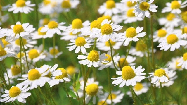 chamomile for companion planting with garlic