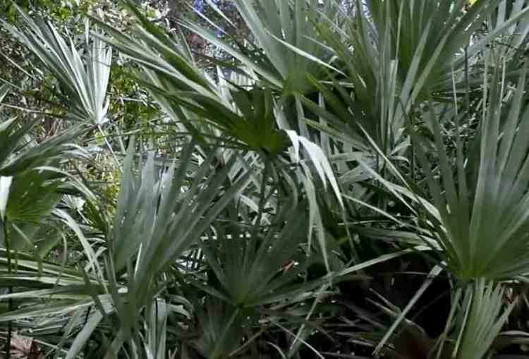 dwarf palmetto is a small palm native to Texas