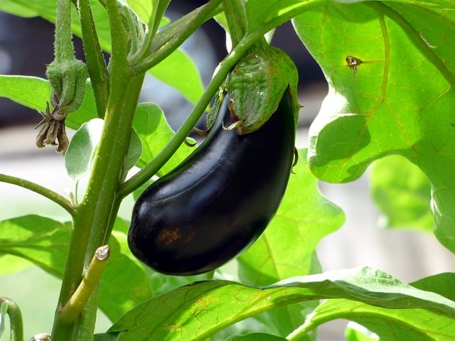 eggplant companion plant garlic