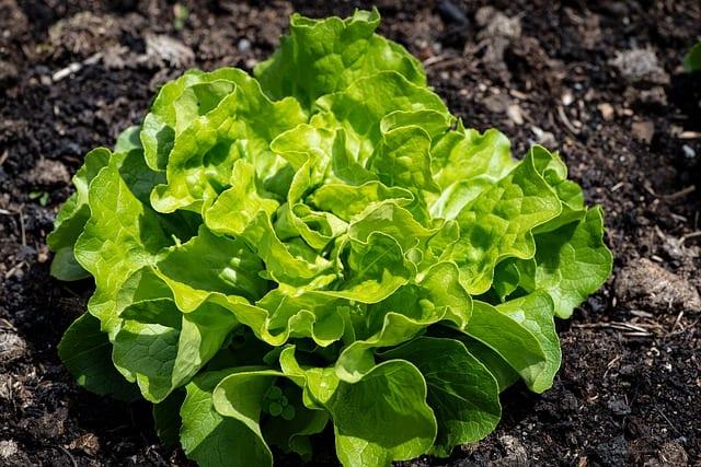 lettuce growing in garden