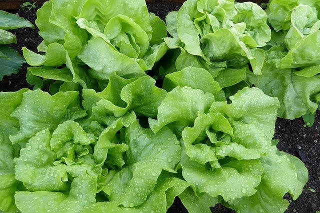watering lettuce
