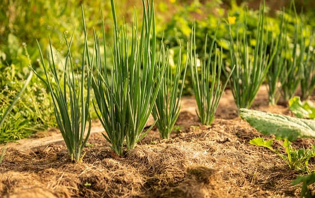 onion companion plant