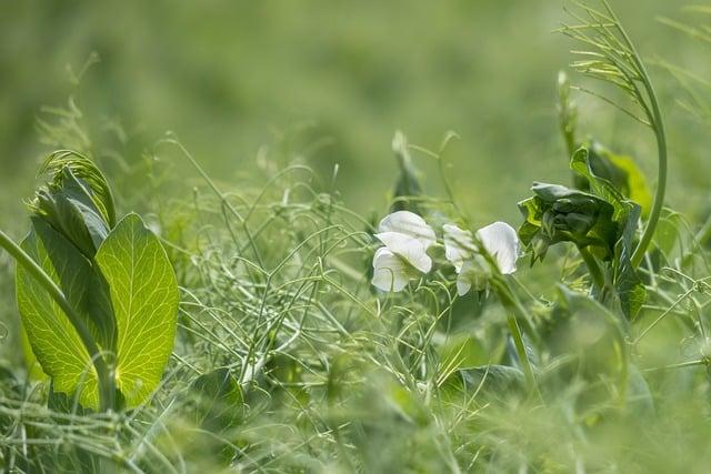 growing field peas as a cover crop