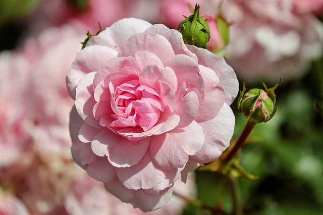 roses companion plant garlic