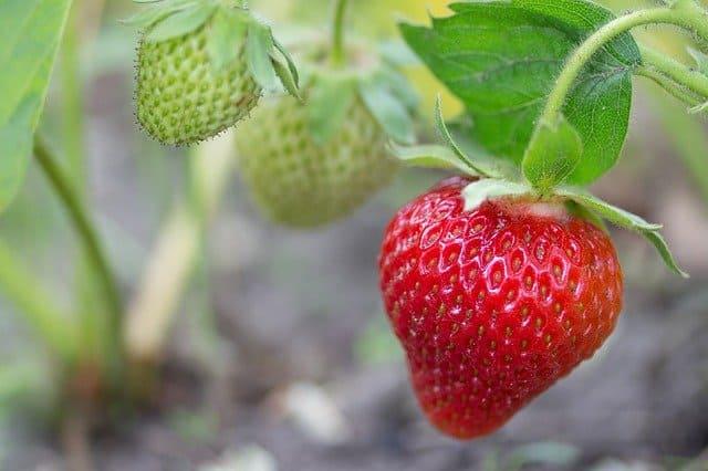 strawberry companion plant garlic