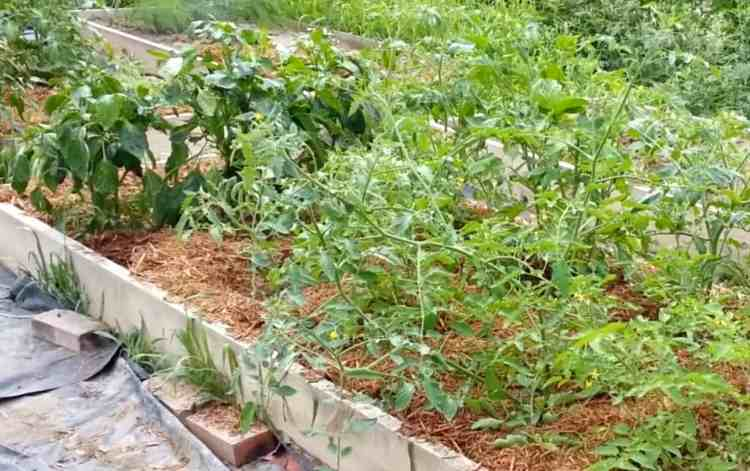 mulched tomato plants