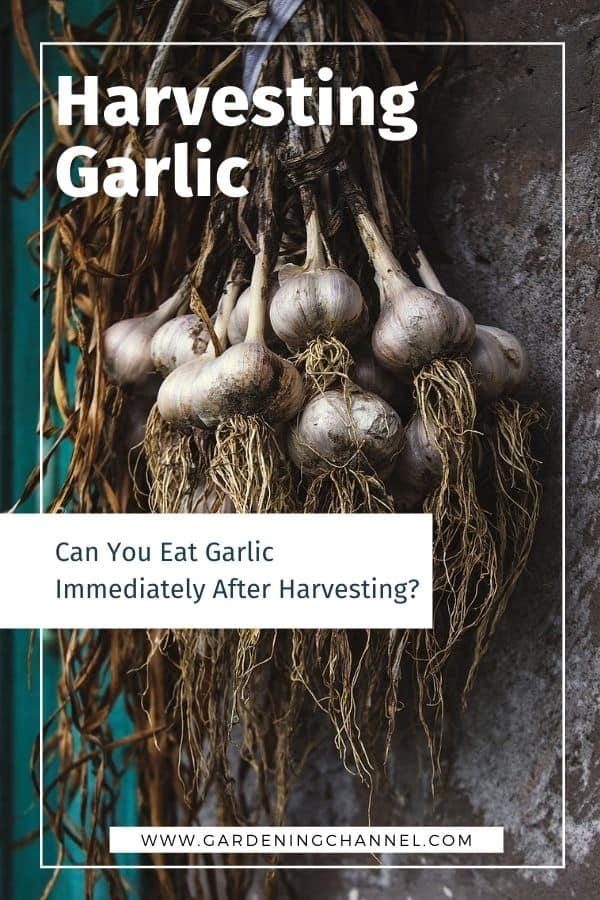 harvested garlic with text overlay harvesting garlic can you eat garlic immediately after harvesting