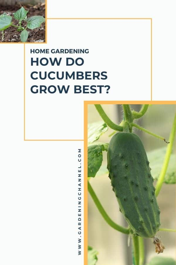 cucumber seedling and plant with text overlay home gardening how do cucumbers grow best