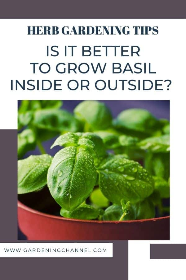 basil growing in container with text overlay herb gardening tips Is it better to grow basil inside or outside?