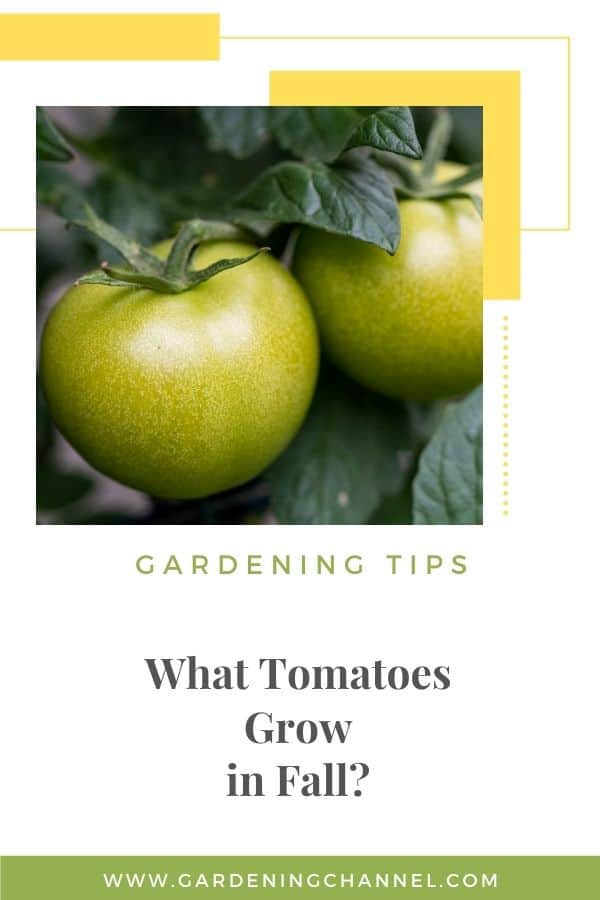 green tomatoes with text overlay gardening tips What Tomatoes Grow in Fall?
