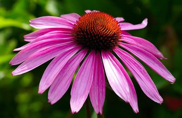 coneflower perennial flower