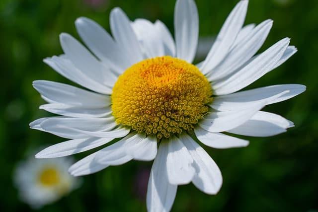 shasta daisy perennial