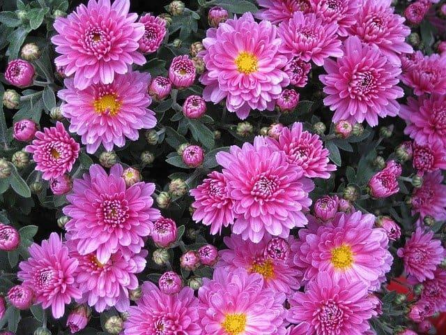 chrysanthemum flowers perennial