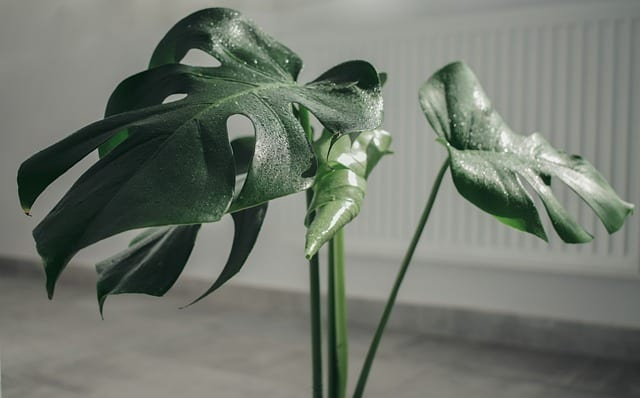 monstera with text overlay whats the best large indoor plant