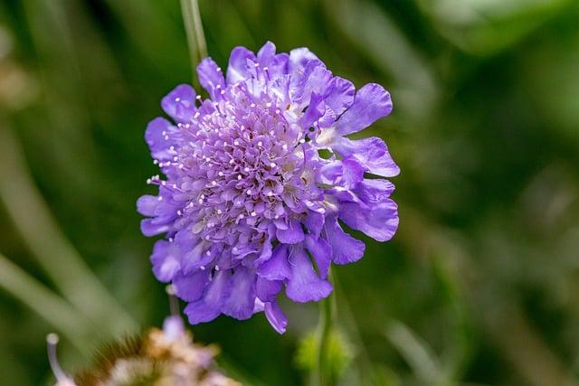 pincushion perennial flower