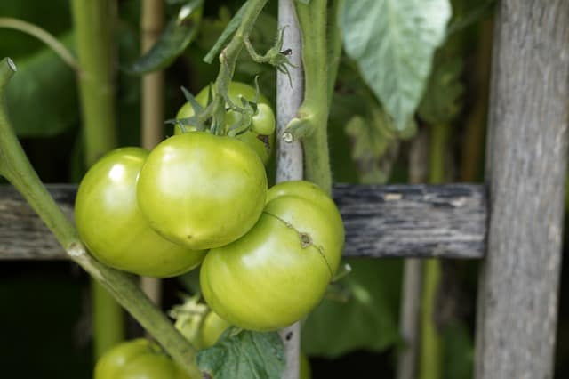 growing fall tomatoes