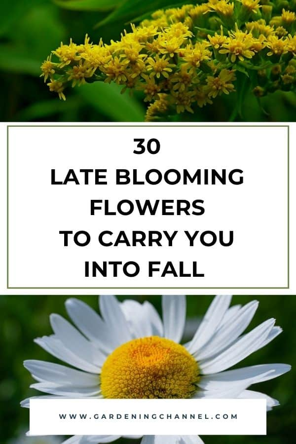 goldenrod and shasta daisy with text overlay 30 Late Blooming Flowers to Carry You into Fall