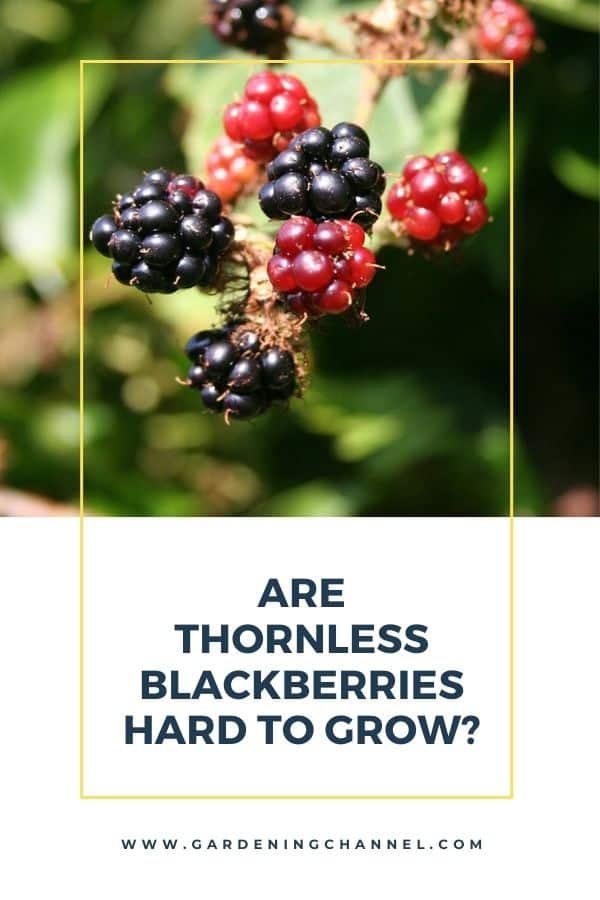 blackberries with text overlay Are Thornless Blackberries Hard to Grow?