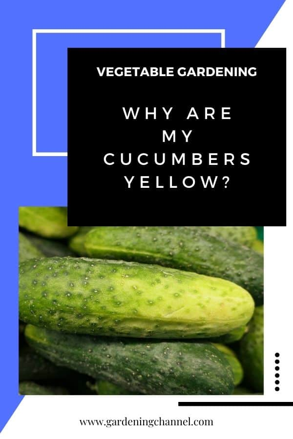 yellow cucumbers with text overlay vegetable gardening Why are my cucumbers yellow?