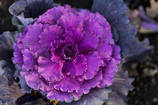 growing fall shade flowering cabbage