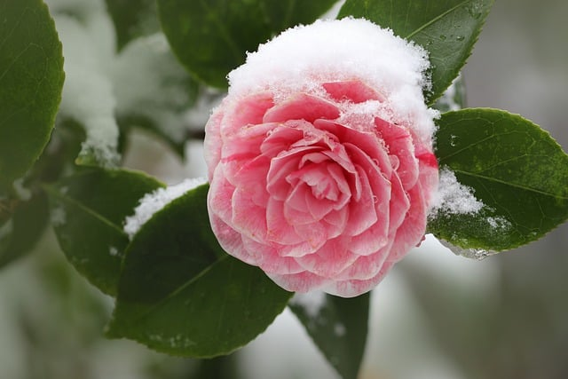 camellia blooming in winter