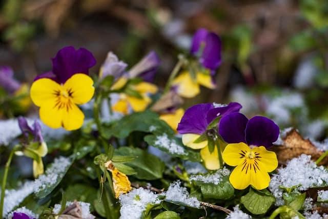 violas blooming in winter