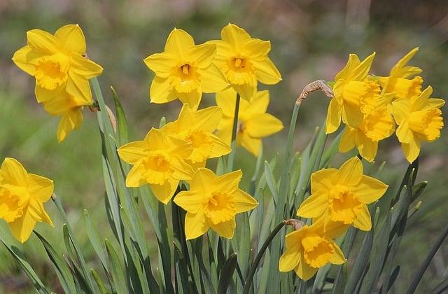 daffodils blooming in winter
