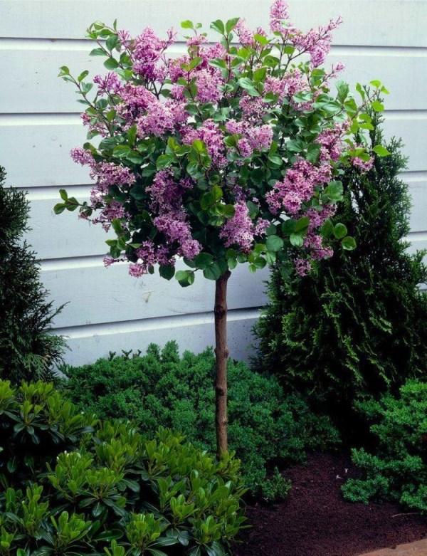 dwarf korean lilac tree - syringa