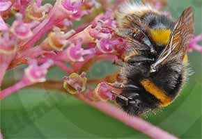 bumble_bee_flower290