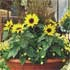 Sunflowers for Uplifting Colour
