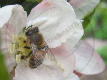 Honey bee visiting apple blossom