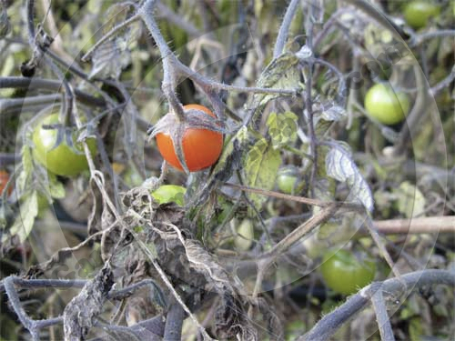 Blighted cherry tomatoes