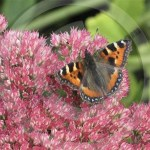 Plant of the month – Sedum